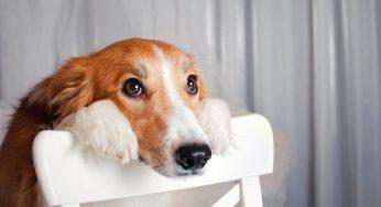 Mi perro tiene insuficiencia renal y no quiere comer, ¿qué hago?