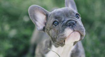 ¿Los dientes de un perro vuelven a crecer? ¡Se le ha caído un diente!