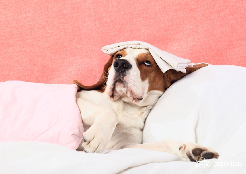 Perro con parvovirus se puede salvar