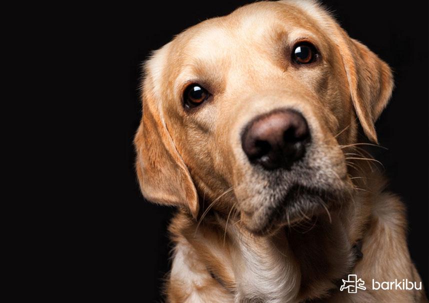 cuantas veces le puede dar parvovirus a un perro