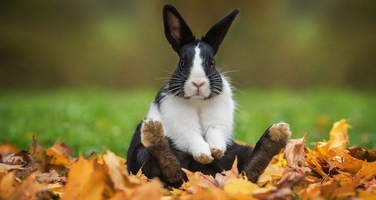 conejos apio
