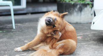 Parvovirus en perros, todo lo que necesitas saber