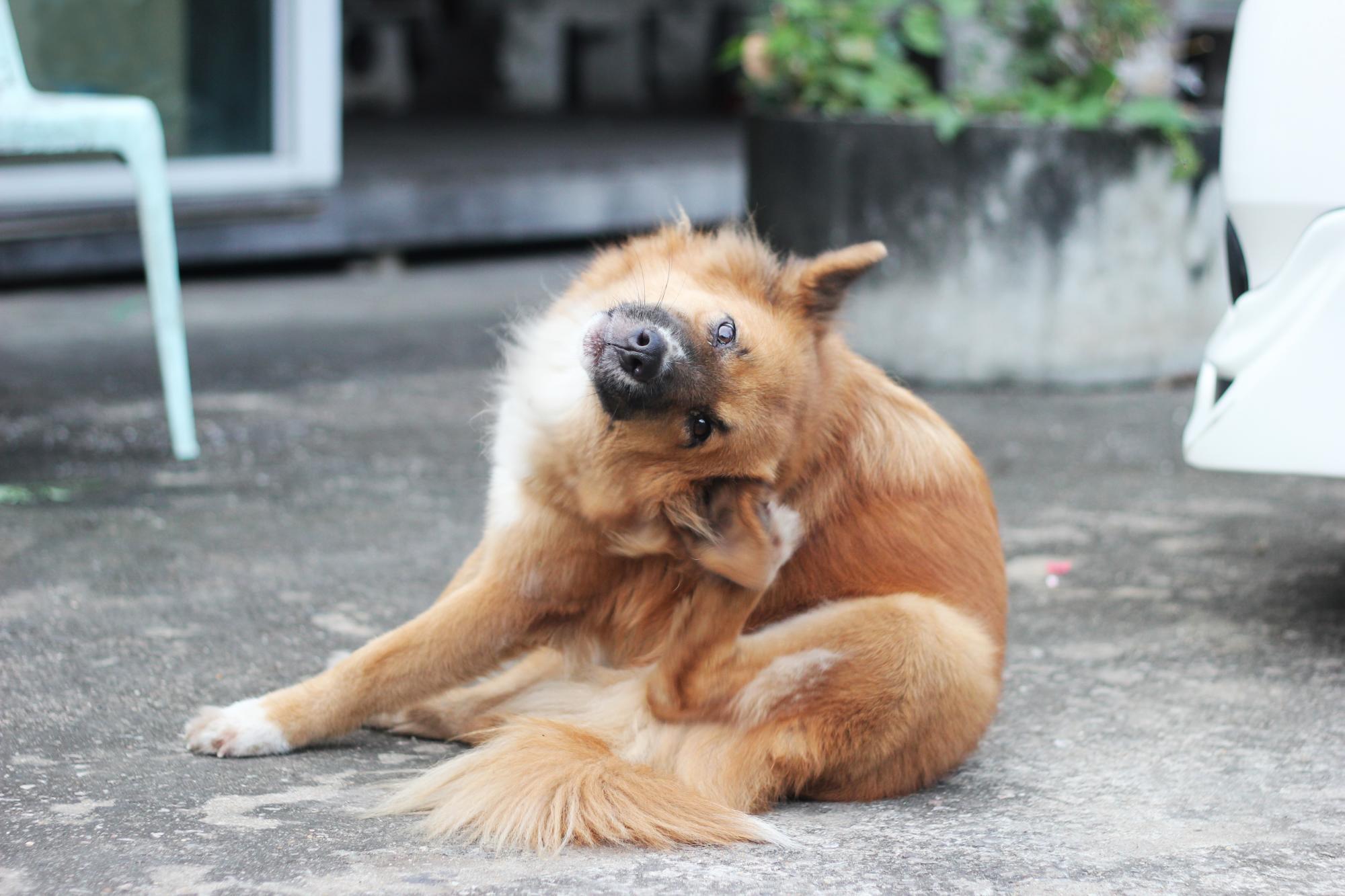 dermatitis perros 3