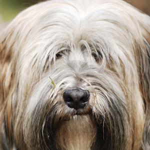 Mi perro carraspea como si tuviera algo en la garganta, ¿qué hago?