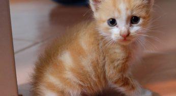 Qué remedios caseros para infección de oído en gatos y otitis son mejores