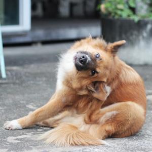 🥇 Parvovirus en perros, todo lo que necesitas saber - síntomas, remedios