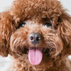 ¿Qué puedo darle a un perro con tos? ¿Hay un jarabe universal para su tos?