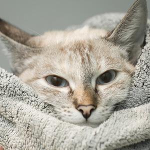 Cómo hacer ropa casera para gatos sin gastar dinero