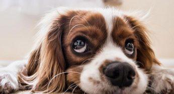 Secuelas del parvovirus en perros, recuperación y cuidados