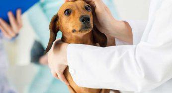 Qué hacer cuando mi perro tiene fiebre y tiembla – parecetamol, fármacos?