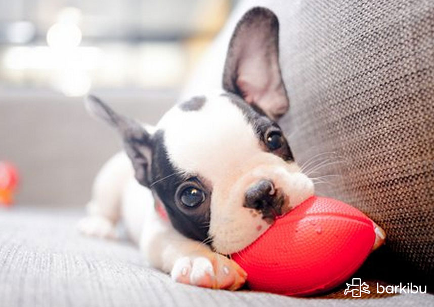 mi perro no quiere jugar a la pelota