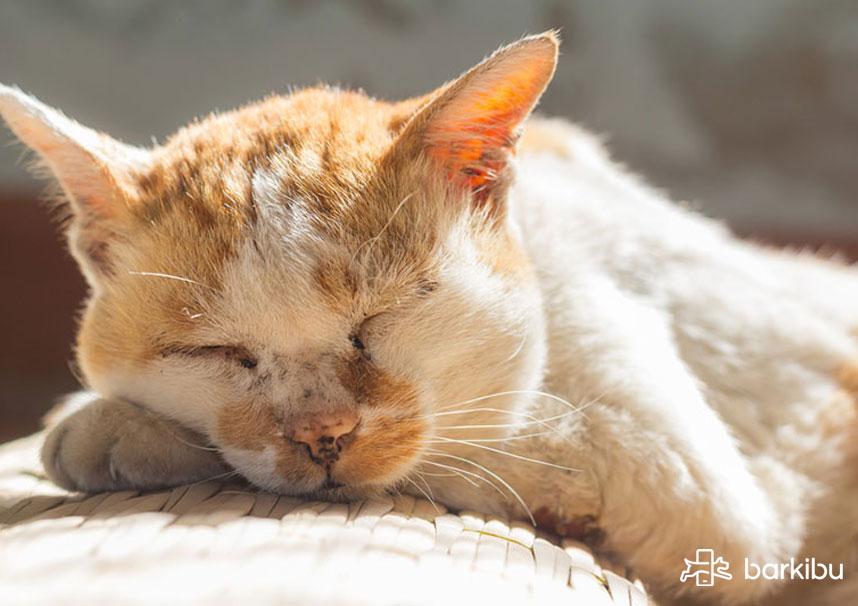¿Se pueden hacer lavados de estómago en casa a un gato?