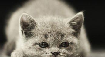 Cómo saber si un gato es hembra o macho cuando son bebés – tetillas, testículos y orificios