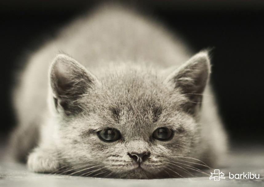 los gatos machos tienen tetillas