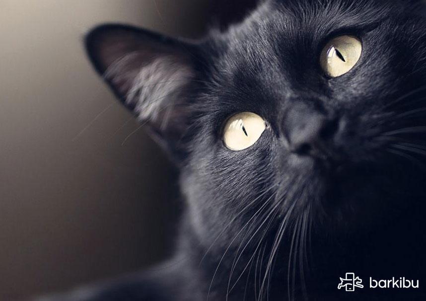 gatos con anisocoria