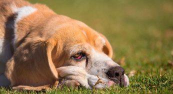 ¿Por qué a mi perro le gustan los peluches, se lo puedo dar a mi perro?
