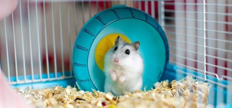hamster hipo