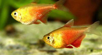 Cómo saber si un pez es hembra o macho – de agua fría, carpa, cometa..