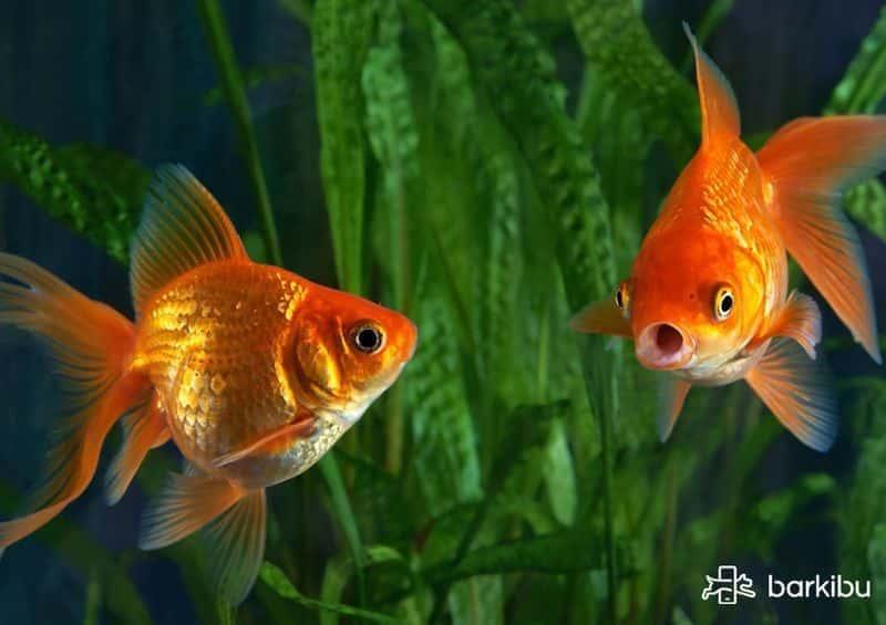 mi pez cometa es macho o hembra