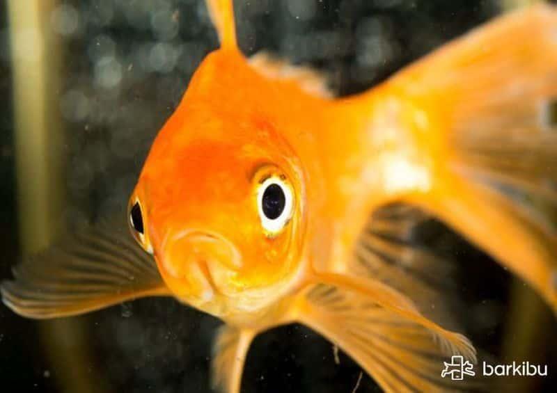 como saber si mi pez es macho o hembra