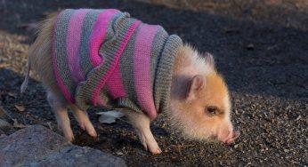 ¿Adoptar un mini pig en España o comprar? Cómo es vivir con uno
